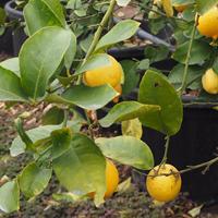 河合果樹園(季節誌しずく)